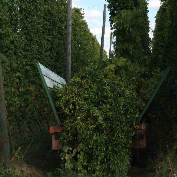 Hops from Hops2Brew