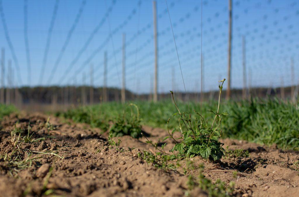 Hopfen Pflanzen auf dem Feld
